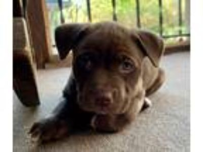 Adopt Landon a Brown/Chocolate - with White Pit Bull Terrier / Mixed dog in