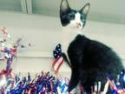 Adopt Quill a Domestic Short Hair