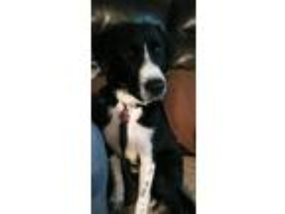 Adopt Wilson a Black - with White Great Dane / Border Collie / Mixed dog in