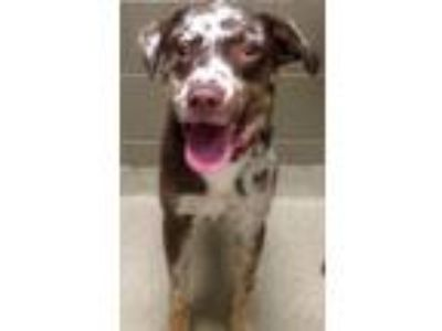 Adopt Niko (Downers Grove) a Australian Cattle Dog / Blue Heeler
