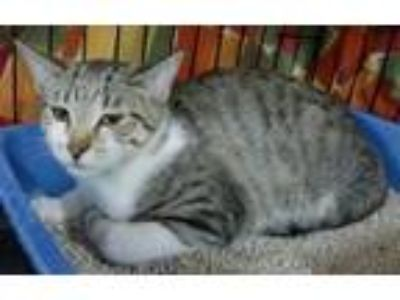 Adopt Petey a Gray or Blue (Mostly) Domestic Shorthair / Mixed (short coat) cat