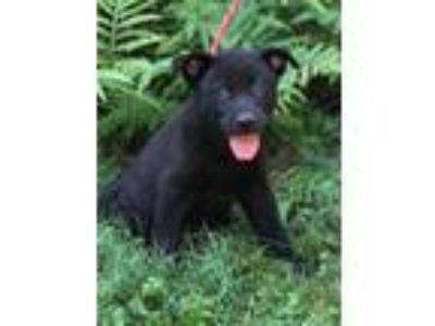 Adopt Gus a Black German Shepherd Dog / Mixed dog in Chester Springs