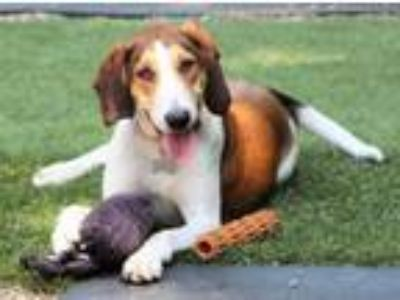 Adopt Instagram Star Gazelle a Foxhound