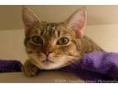 Adopt Benning a Gray or Blue Domestic Shorthair / Domestic Shorthair / Mixed cat