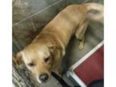 Adopt Millie a Labrador Retriever
