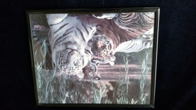 Framed picture of albino tiger and her cubs