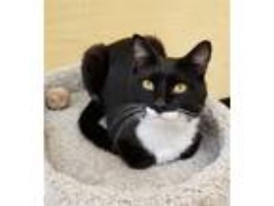 Adopt Warren a Domestic Shorthair / Mixed cat in Sherwood, OR (25761368)