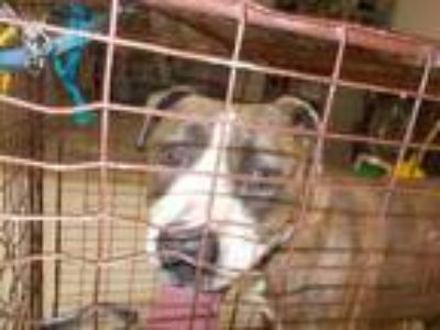 Adopt a Brindle - with White American Pit Bull Terrier / Mixed dog in Temple