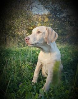 Labrador Retriever PUPPY FOR SALE ADN-54883 - AKC Cream Female