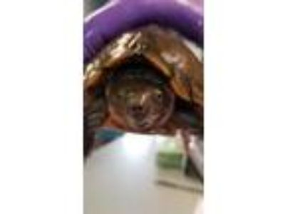 Adopt Luna a Turtle - Other / Mixed reptile, amphibian, and/or fish in