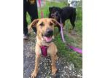 Adopt Sweetie a Brown/Chocolate - with White Labrador Retriever / Mixed dog in