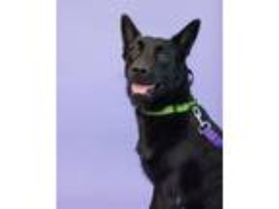 Adopt Shelby a Labrador Retriever / Mixed dog in Pittsburgh, PA (25614751)