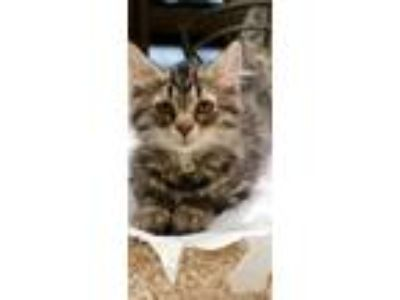 Adopt Hypatia a Domestic Longhair / Mixed cat in Westmont, IL (25846096)