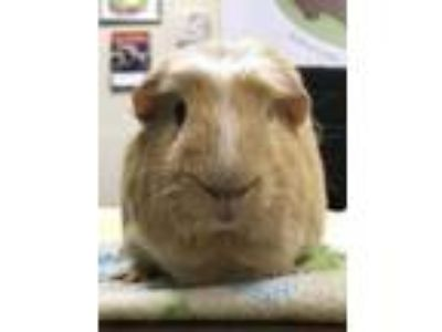 Adopt Eliot (Neutered) a Guinea Pig small animal in Sunrise, FL (25317591)