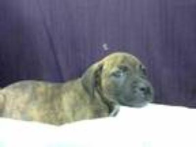 Adopt NINFA a Brindle - with White Patterdale Terrier (Fell Terrier) / Mixed dog