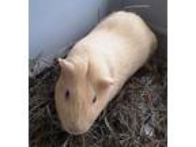 Adopt Maple a Guinea Pig small animal in Concord, NH (25279602)
