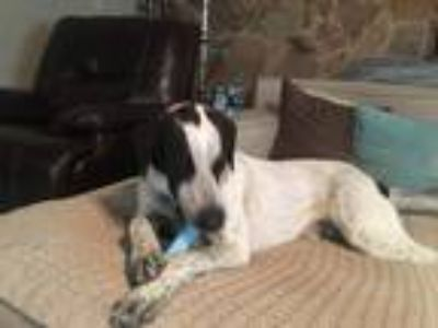 Adopt Kenai a Black - with White Great Pyrenees / Labrador Retriever dog in