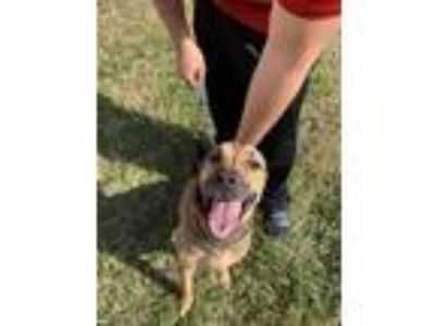 Adopt Kent a Black - with Tan, Yellow or Fawn German Shepherd Dog / Old English