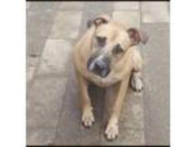 Adopt Duke a Tan/Yellow/Fawn Labrador Retriever / Mixed dog in San Clemente