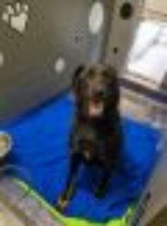 rocky Black Labrador Retriever - Rottweiler Dog
