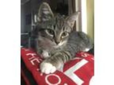 Adopt Tigger a Gray or Blue Domestic Shorthair / Domestic Shorthair / Mixed cat