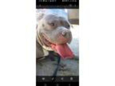 Adopt Romeo a Gray/Blue/Silver/Salt & Pepper American Pit Bull Terrier / Mixed
