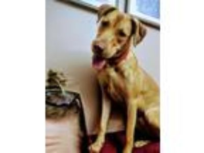 Adopt Garlic a German Shepherd Dog, Labrador Retriever