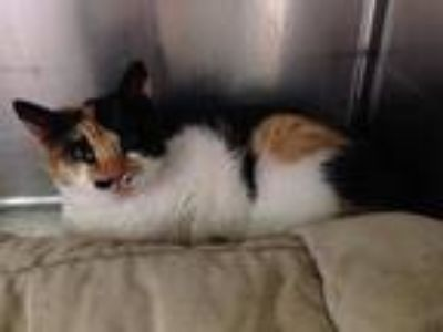 Adopt Lena a Domestic Shorthair / Mixed (short coat) cat in Cumberland