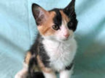 Adopt LILO a Calico or Dilute Calico Domestic Shorthair / Mixed (short coat) cat