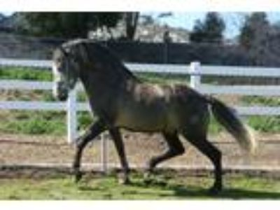 ANCCE Andalusian Buckskin Graying Out Stallion
