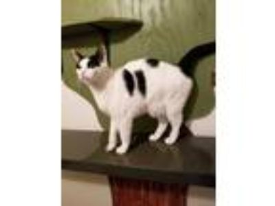 Adopt Jack a White (Mostly) Domestic Shorthair (short coat) cat in Salisbury