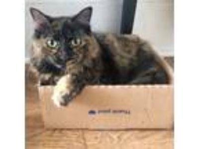 Adopt Lucky a Tortoiseshell Domestic Longhair (long coat) cat in NYC