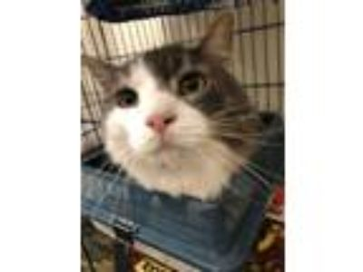 Adopt Punky a Gray or Blue (Mostly) Domestic Mediumhair (medium coat) cat in