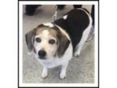 Adopt JUNIOR a Tricolor (Tan/Brown & Black & White) Beagle / Mixed dog in