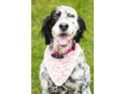 Adopt Sadie a English Setter