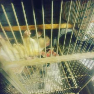 Three sugar gliders with cage and accessories