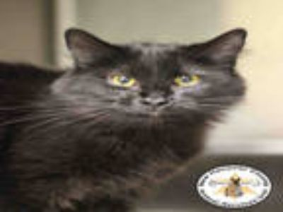 Adopt MAGGIE a All Black Domestic Longhair / Mixed (long coat) cat in