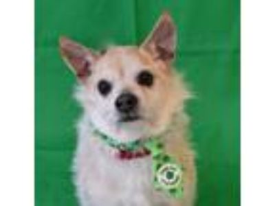 Adopt Matty a White Terrier (Unknown Type, Small) / Mixed dog in Itasca