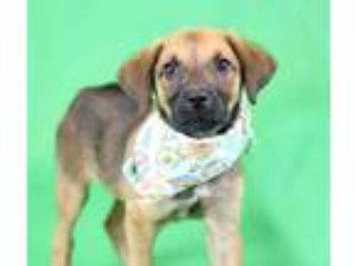 Adopt Mikey a Brown/Chocolate Hound (Unknown Type) / Mixed dog in Louisville