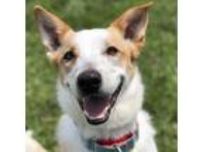 Adopt Chester a White Australian Cattle Dog / Border Collie / Mixed dog in