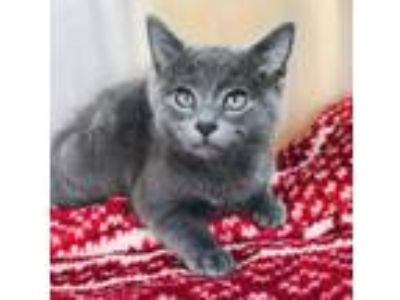 Adopt Fozzie a Gray or Blue Domestic Shorthair / Domestic Shorthair / Mixed cat