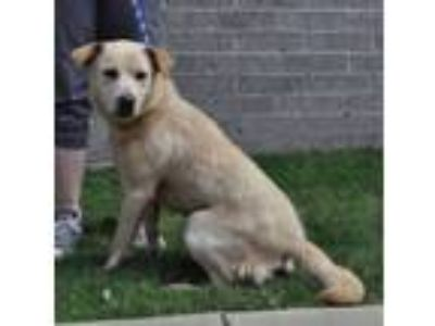 Adopt Journey a Golden Retriever