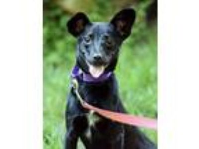 Adopt Khalessi a Rat Terrier, Border Collie