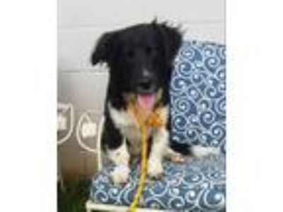 Adopt Luke Hobbs a Black - with White Spaniel (Unknown Type) / Basset Hound /