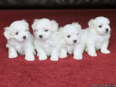 Vet Checked Vaccinated Maltese Puppies Ready Now