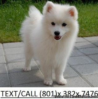 Friendly Japanese Spitz Puppies for sale