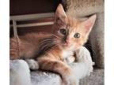 Adopt Kitten Parker a Domestic Short Hair