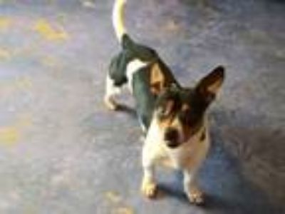 Adopt Pancho a Rat Terrier dog in Norristown, PA (24366982)