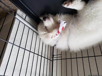 3 month old American eskimo