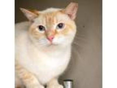 Adopt Paris a White Siamese cat in Fredericksburg, TX (23258431)